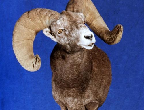Big Horn Sheep & Chukars