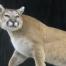 Cougar - Chuck Knox, Orovada, Nevada